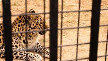 un leopardo selvaggio giace sulla sabbia. leopardo in una gabbia dello zoo foto