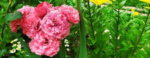 rosa Rosa. arbusto fiorito in giardino in estate. sfondo floreale foto