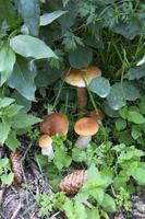 funghi nel bosco. i funghi porcini crescono ammucchiati nell'erba foto