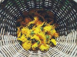 bellissimi fiori di tarassaco freschi in una grande ciotola di vimini, teste gialle raccolte per scopi medici o culinari. ingredienti alimentari per marmellata, marmellata, confettura. vista dall'alto, immagine ravvicinata foto
