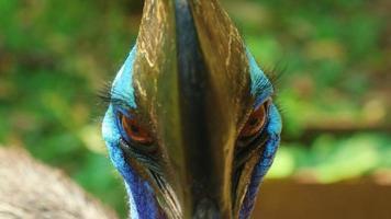 avvistamenti di uccelli casuari in natura foto