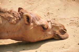 cammelli che giacciono dormienti nei calanchi durante la calda giornata foto