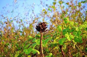 fiori neri essiccati nel deserto tropicale foto