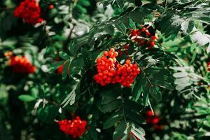 grappoli di bacche di sorbo rosso tra le foglie verdi foto