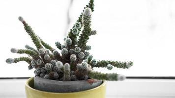 cactus verde in vaso sul davanzale della finestra, pianta domestica foto
