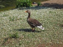 uccello anatra nell'erba foto