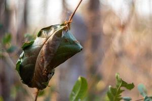 foglia avvolta come un nido di formiche rosse foto