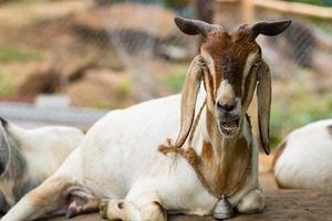 capra appoggiata a terra foto