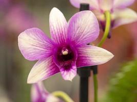 primo piano di una bellissima orchidea viola rosa foto