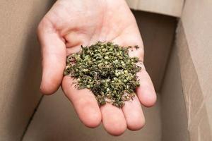 raccolta di semi di marijuana medicinale, mano con semi di canapa. foto