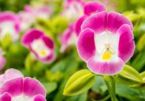 fiore rosa che sboccia nell'aiuola del giardino foto