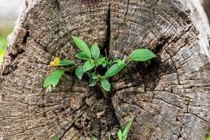 estratto della scena naturale dell'albero in crescita dal legno morente. foto