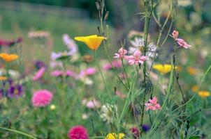 campo di fiori cosmo, prato con aster, camomilla, esholtzia foto