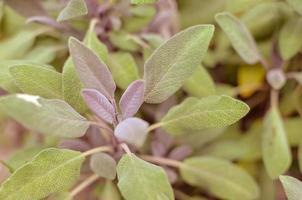 primo piano della pianta di salvia nel giardino delle erbe foto