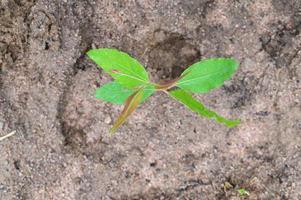 gli eucalipti che piantano alberi stanno crescendo. foto