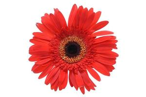 gerbera rossa isolata su sfondo bianco. margherita barberton. foto