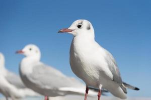 uccelli di gabbiano bianco nella messa a fuoco degli occhi, messa a fuoco selettiva foto