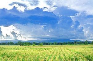 paesaggio del campo di mais con il tramonto, fattoria del campo coltivato verde. foto