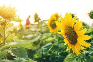 primo piano di girasoli e fiore giallo nel parco foto
