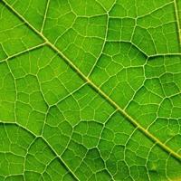 foglie verdi texture e fibra fogliare, sfondo di foglia verde. foto