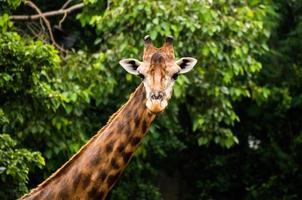 giraffa nello zoo foto