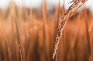risone e semi di riso in fattoria, risaia biologica e agricoltura. foto