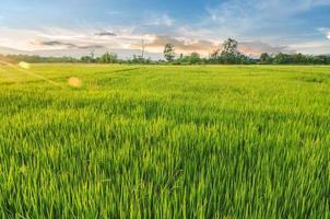 paesaggio di riso e semi di riso nella fattoria con un bel cielo azzurro foto