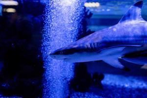 immagine subacquea di piccoli squali che nuotano in acquario in oceanarium foto