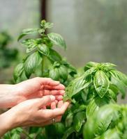 mani femminili che toccano foglie di basilico, lavorando in giardino foto