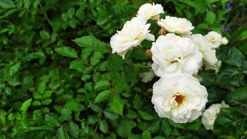 rose bianche fiorite in giardino d'estate foto
