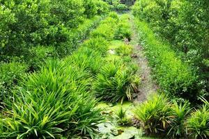 pianta di pandano verde in giardino foto