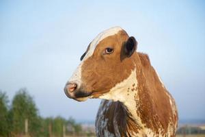 bella mucca olandese maculata marrone e bianca foto
