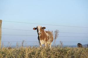 vista frontale di una bellissima mucca olandese maculata marrone e bianca foto