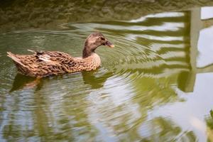 pisolino di germano reale mentre galleggia sull'acqua foto