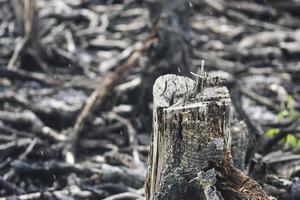 mangrovie che sono state tagliate e bruciate foto