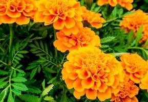 il campo di calendule, fiore di colore arancione vivo foto