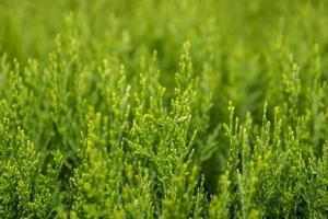 rami e foglie verdi degli alberi come sfondo naturale foto