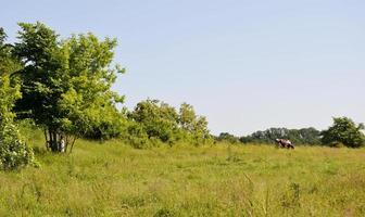 mucca al pascolo su prato verde foto