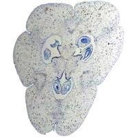 micrografia dell'ovaio del giglio foto