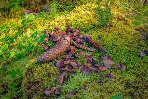 luogo di alimentazione di uno scoiattolo con pigne di abete intere e rosicchiate foto