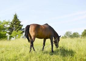 bellissimo stallone selvaggio cavallo marrone sul prato fiorito estivo foto