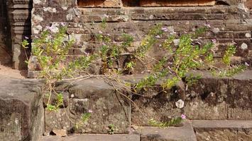 fiore della pianta all'antica rovina khmer buddista di pre rup, siem reap foto