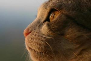 gatto in attesa del momento opportuno per attaccare la preda. foto