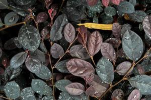 le foglie si riempiono di goccioline d'acqua dopo la pioggia foto