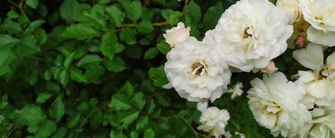 cespuglio di rose. rose bianche fiorite in giardino d'estate. foto