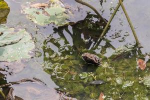 lago di stagno tropicale secco con piante acquatiche, giardino botanico di perdana. foto