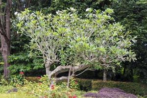 Plumeria obtusa albero di frangipani a Kuala Lumpur, Malesia foto