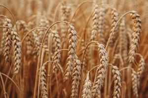 sfondo di maturazione spighe di grano. campo di grano foto