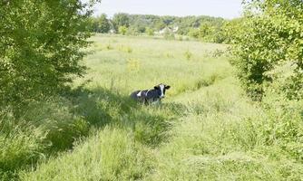 mucca da latte al pascolo sul prato verde foto