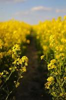 colza gialla su uno sfondo di cielo. messa a fuoco selettiva sul colore foto